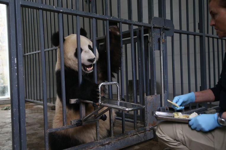 Vrouwtjespanda Wu Wen in haar verblijf in China. Beeld anp