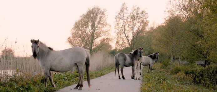 Wilde paarden in Meinerswijk. Beeld uit 'The beauty of necessity'.