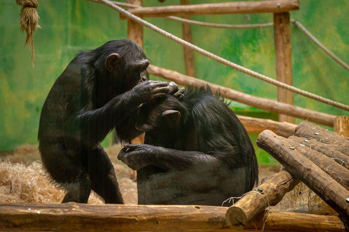 De chimpansees Mia en Marit in ZOO Antwerpen.