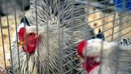 Voorzorgsmaatregelen voor vogelgriep vanaf vandaag soepeler