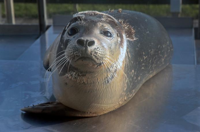 Zeehondenopvang A Seal in Stellendam.