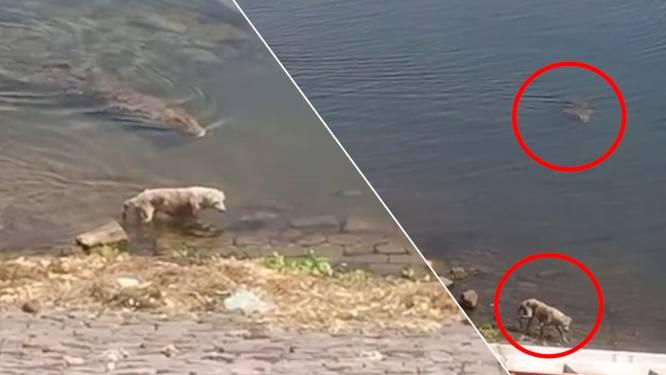 Krokodil grijpt hond bij zijn keel en sleept hem mee in de rivier