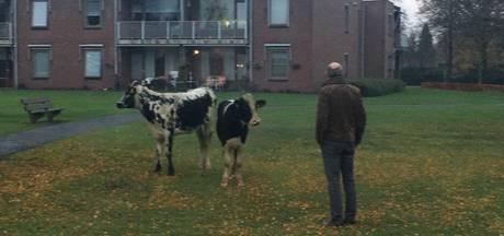40 loslopende koeien in centrum van  Bladel