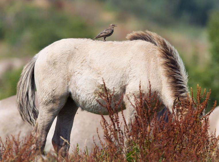 Een konikpaard. Beeld Colourbox