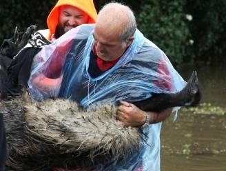 Gookie de emoe maakt boottocht om te ontsnappen aan Australische overstromingen