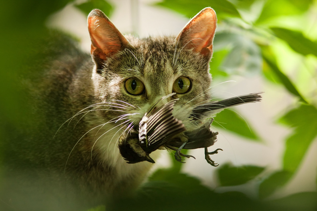 Katten zijn jagers en doden jaarlijks miljoenen vogels.