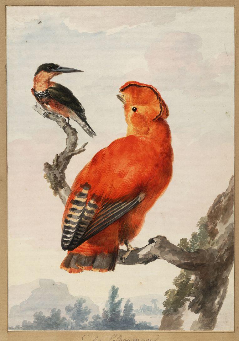 Oranje rotshaan en een ijsvogel door Aert Schouman (1710-1792). Beeld Teylers Museum
