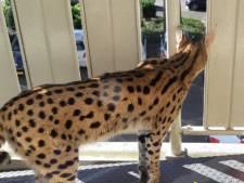 Serval als huisdier is legaal, maar absoluut af te raden: 'Een klein kind pakt die ook makkelijk'