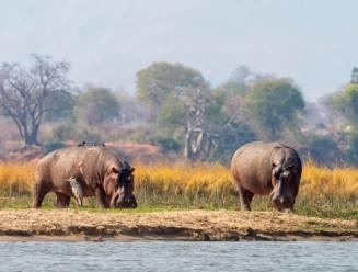 Parasieten in stuwmeren in Zimbabwe vormen bedreiging voor nijlpaarden