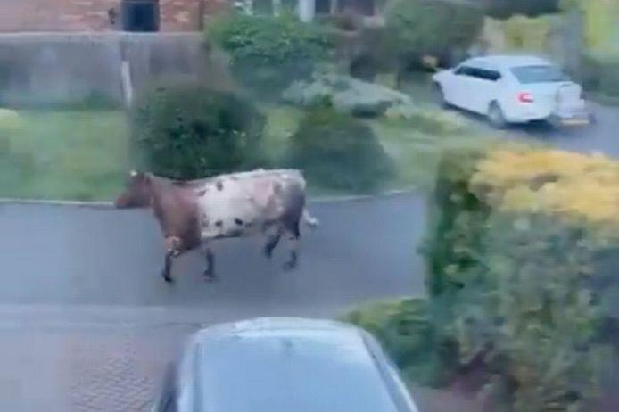 Une voiture de police percute volontairement une vache et crée la polémique en Angleterre.