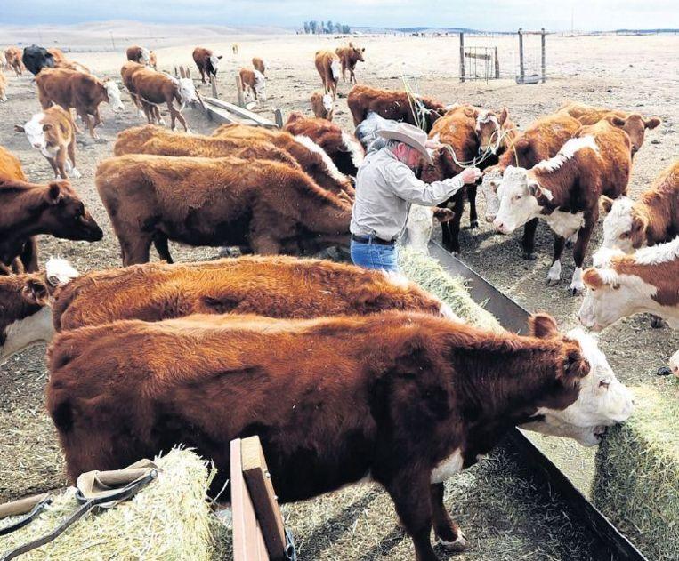 Een boer in Delano, Californië voert hooi aan zijn vee. De velden behoren groen te zijn in februari, maar de westelijke staten van de VS worstelen met droogte. Beeld epa