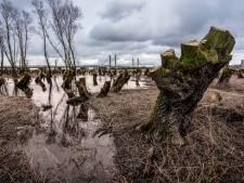 Ooibos in de uiterwaarden na 35 jaar weer geknot: een oerbosje zal het niet worden