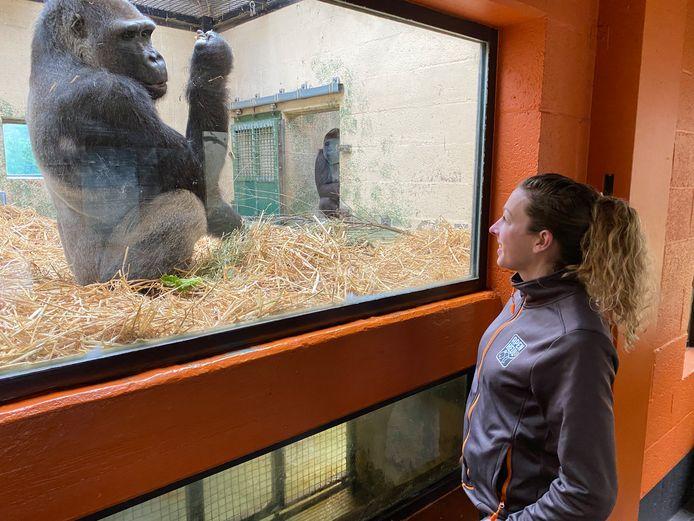Dierverzorgster Nicole Brands van Dierenpark Apenheul oog in oog met gorillabaas Bao Bao, die voor het eerst vader is geworden. Op de achtergrond, net om de hoek, moeder Gyasi met het gorillajong.