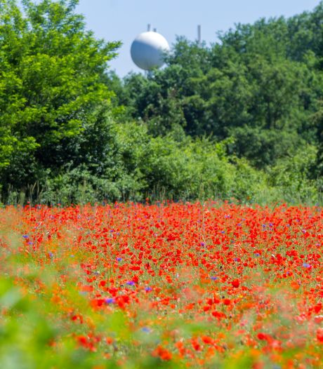 Een explosie van rood in ons groen, waaraan danken we die massa's klaprozen in bermen en velden?