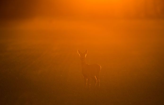 Een hertje staat in de  avondzon in de bossen van het Duitse Hackenow. Foto Patrick Pleul