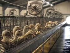Le lent mea culpa des producteurs de foie gras