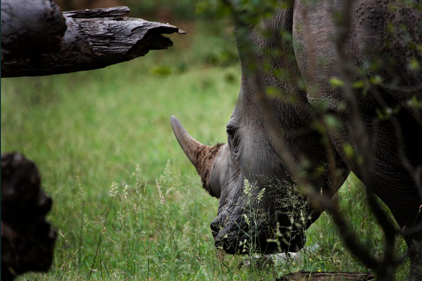 Een neushoorn in het Kruger Park in Zuid-Afrika.