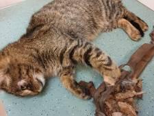 Kat stapt in verboden vossenklem in Haaren en raakt mogelijk zijn pootje kwijt