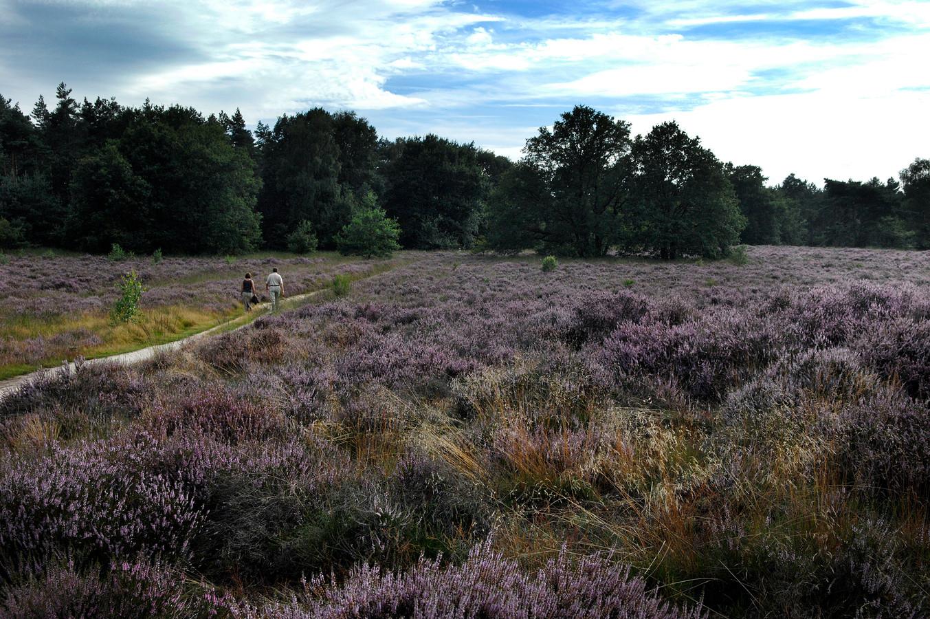 Archiefbeeld: Vroeg bloeiende heidein natuurgebied de Meinweg bij Ospel. De hei staat uitbundig in bloei.