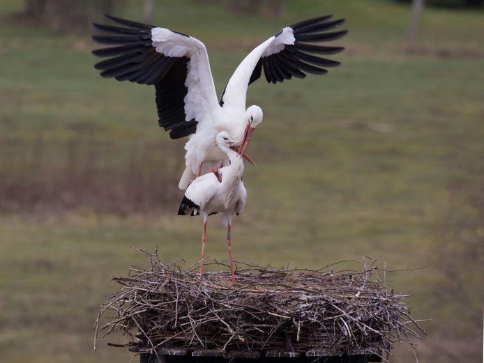Balsende ooievaars op het nest