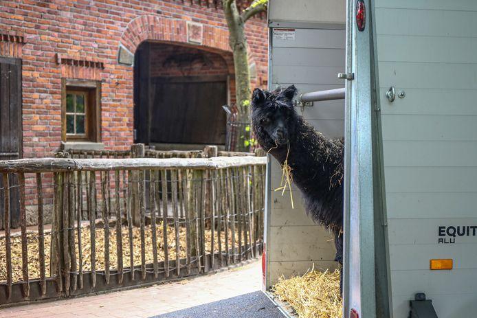 Waar ben ik nu beland, lijkt de jonge alpaca te denken bij aankomst in Tierpark Nordhorn