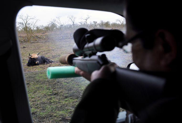 Een zwak heckrund in de Oostvaardersplassen wordt geschoten.  Beeld Marcel van den Bergh / de Volkskrant