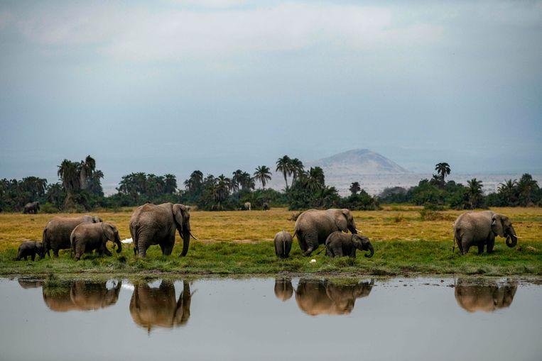 Olifanten in het Nationaal Park Amboseli in Kenia. Beeld AFP
