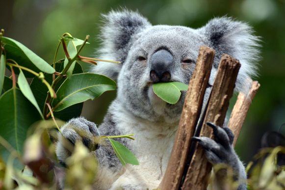 Een koala.