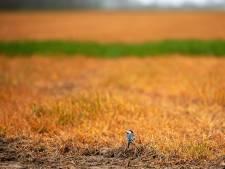 Oisterwijkse politiek wil af van oranje akkers: 'Glyfosaat verbieden'