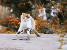 Ministerie: Kat mag gewoon naar buiten