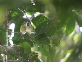 Belg ontdekt nieuwe vogelsoort op Indonesisch eiland