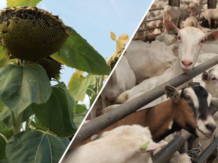 Zonnebloemen als powerfood voor geiten: '40 ton voer van een hectare'