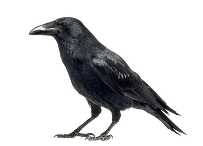 Картинки серая ворона