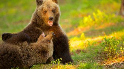 Bruine beren aangekomen in Pairi Daiza: vanaf april kan je tussen de dieren overnachten