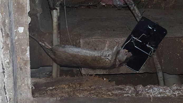 Bewoners van de Vogelbuurt zijn inmiddels bijna gewend aan ratten die in en bij hun woningen leven.