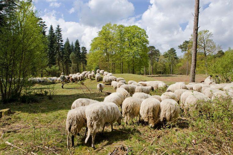 Een kudde schapen in het Kniphorstbos bij Anloo Beeld Harry Cock / de Volkskrant