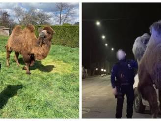 """Ontsnapte kamelen en dromedaris in Doornik horen bij circus net over Franse grens: """"Kwaad opzet"""""""