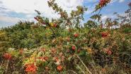 Haagplantcampagne slaat dit jaar niet aan in Rupelstreek