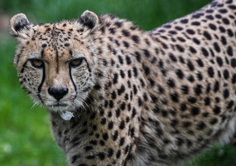 Een Zuid-Afrikaans jachtluipaard in een dierentuin. Archiefbeeld.