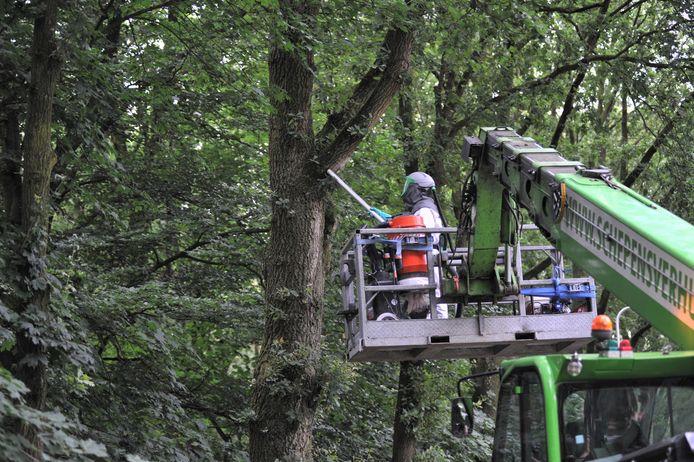 Een aannemer zuigt eikenprocessierupsen uit bomen in Renkum.