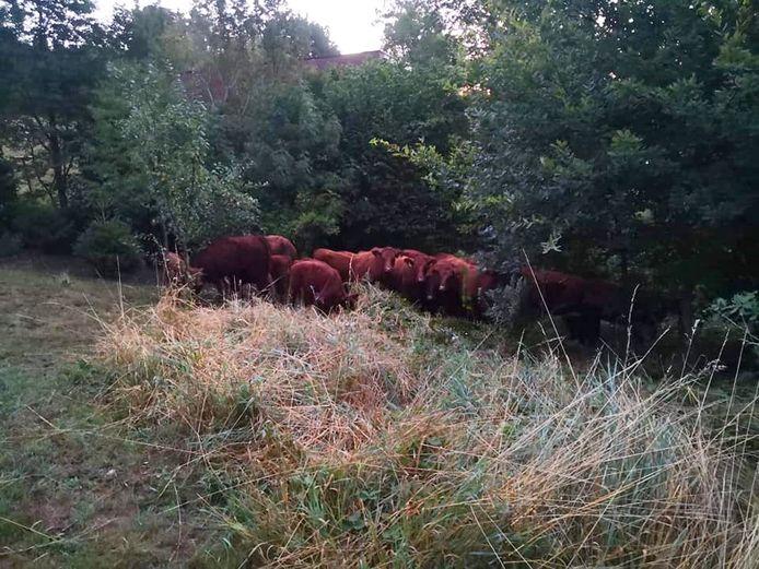 Sauvetage d'un troupeau de vaches à Fléron.