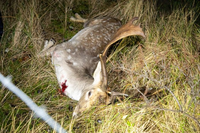 Een foto van een aangereden hert.