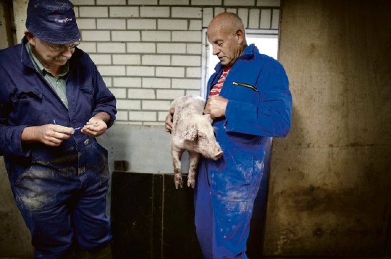 Veearts Jaap Bosman (links) bezoekt een varkenshouder, en heeft zojuist een zieke big laten inslapen middels een spuitje. (FOTO HERMAN ENGBERS) Beeld