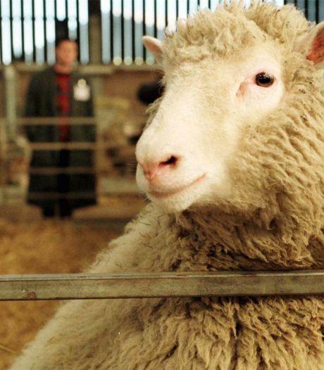 Het klonen van schaap Dolly opende de deur voor nieuw medicijnonderzoek