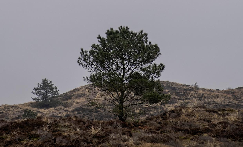 Bomen zijn vaak niet gewenst in het duingebied, zoals hier tussen Schoorl en Groet.