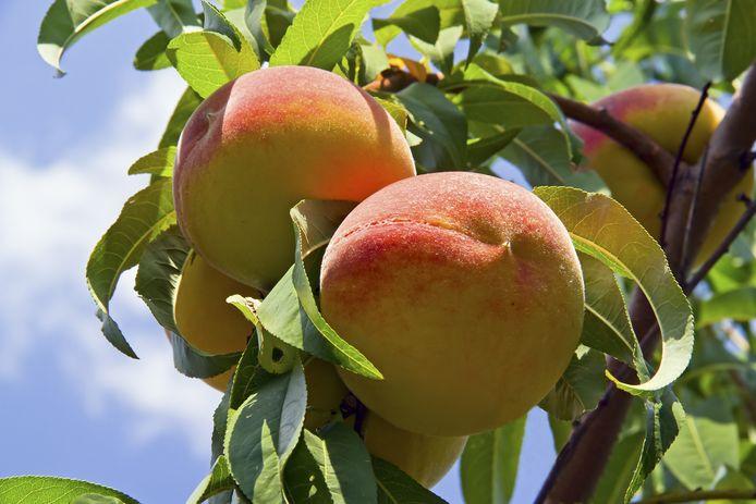 Gezonde perzikenboom.