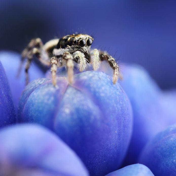 Huiszebraspin op een blauwe druif, met op de achtergrond het blauw van vergeet-mij-nietjes.