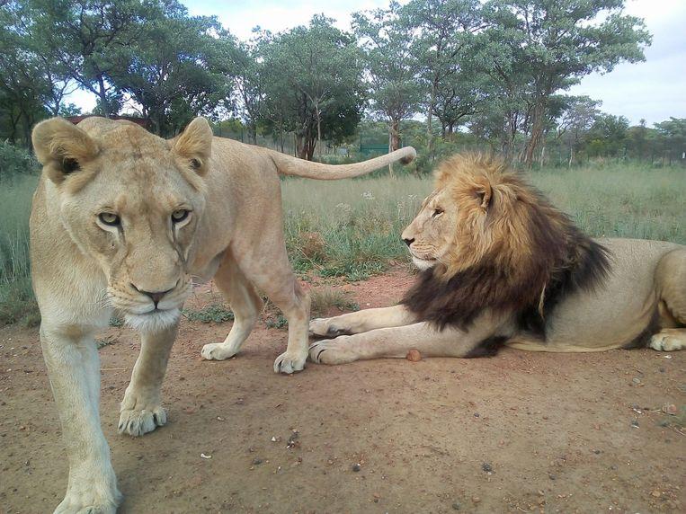 Twee van de leeuwen aan het begin van dit jaar.