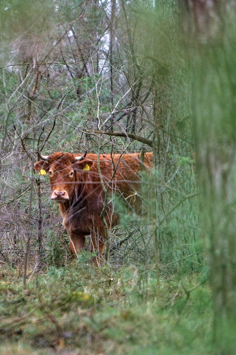 ► De losgeslagen koe Hermien zit al zes weken in de bossen van het Nederlandse Lettele. Beeld FOTO HISSINK