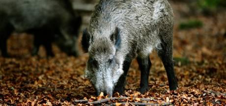Geen extra maatregelen Afrikaanse varkenspest